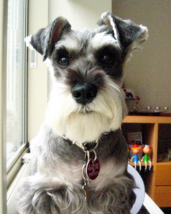 犬登録タグをつけるプルーニャ