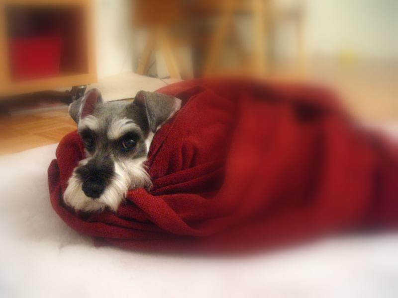 毛布に包まるプルーニャ①