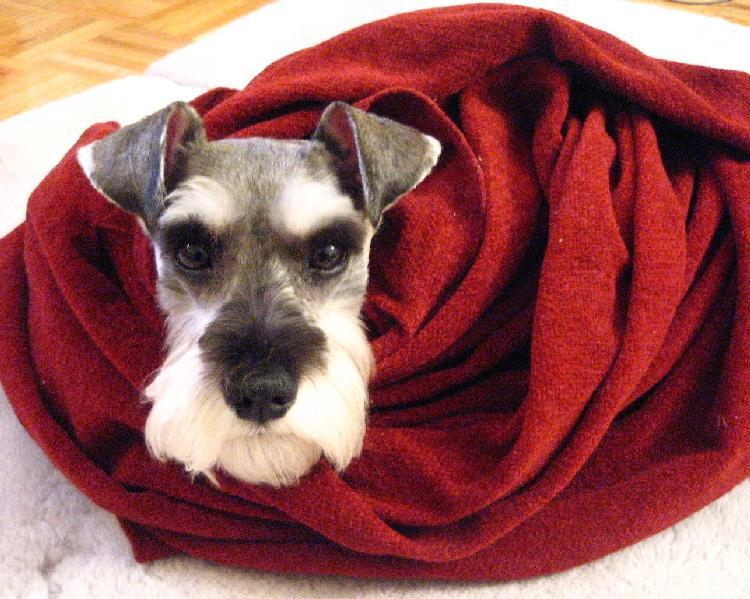 毛布に包まるプルーニャ②