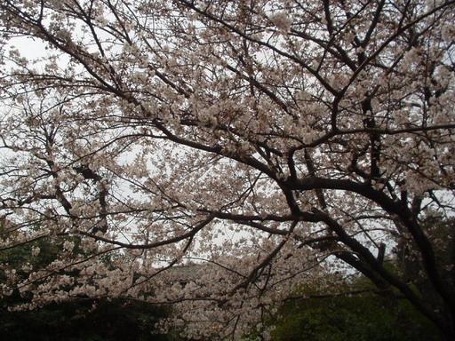 のこの島桜