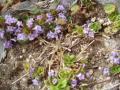 グレコマのお花