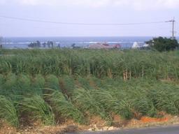 サトウキビ畑の向こうは海~~