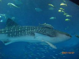 ジンベイサメ