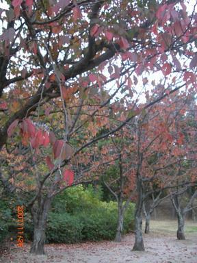 真っ赤な桜