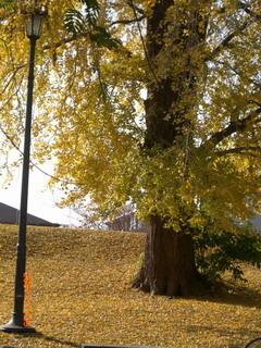 大銀杏の木