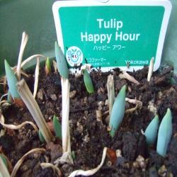 Tulip+Happy+Hour.jpg