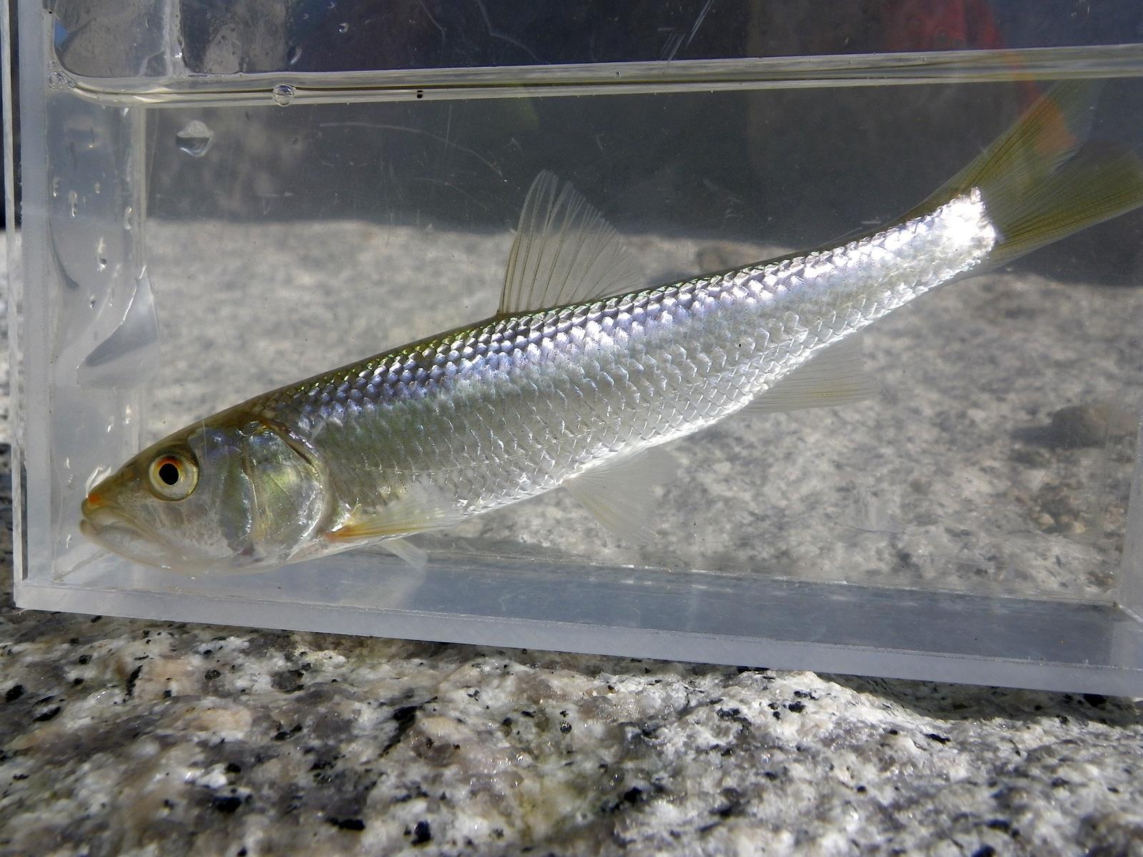 끄리(ックリ 和名コウライハス Opsariichthys uncirostris amurensis)