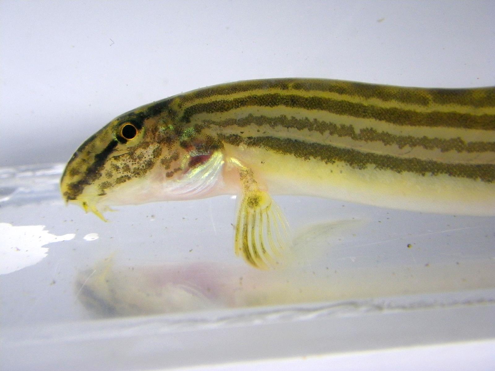 줄종개(ジュルジョンゲェ 和名不明 Korean striped spine loach = コウライスジシマドジョウ? Cobitis tetralineata)