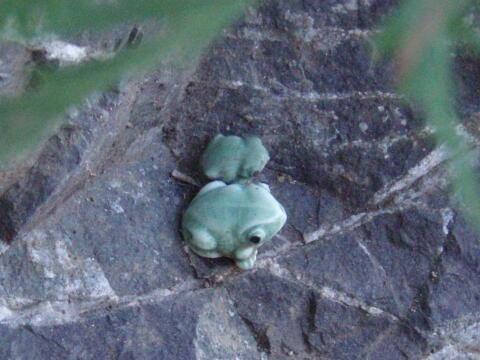 無事カエルと蛙が待ってる