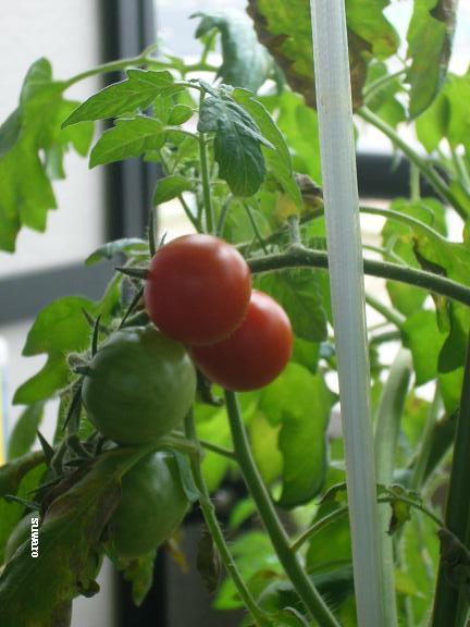 6個目のスイートミニ→涼しくなってから色づきだしたミニトマト