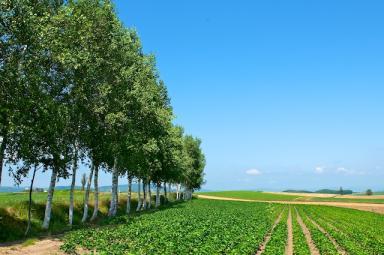 ジャガイモ畑と白樺並木