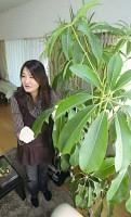 葉にほこりがたまった時、浜田さんはしめらせた軍手をはめてふいている。植物はツピダンサス