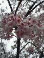 寒桜アップ
