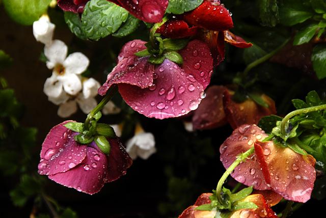 雨 鉢植え