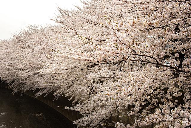 石神井川の桜 01