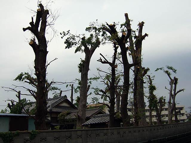 枝を切られた木々
