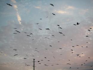 ヒッチコックの鳥