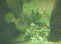 捕食するカワハギ