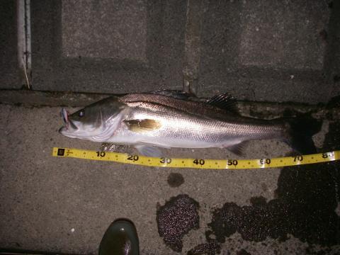 涸沼 シーバス 2007.9.26.3