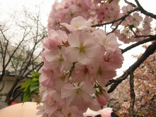 見事な桜!