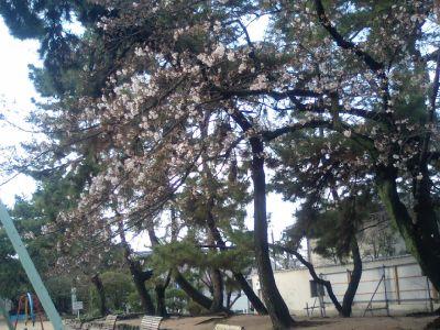 桜少し咲き始めました。