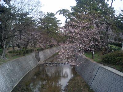 4/2朝8時の桜。