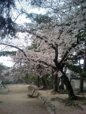 ほとんど満開の桜も・・。