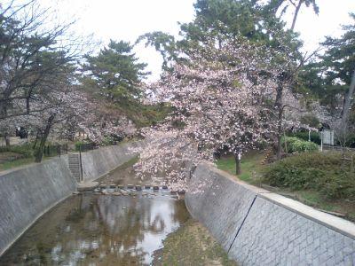 この桜は咲が遅いです。