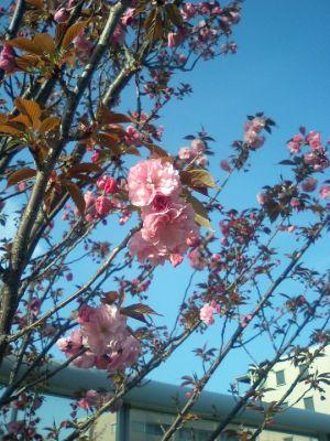 まだ咲いていました。
