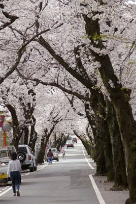 コレお薦め桜のトンネル