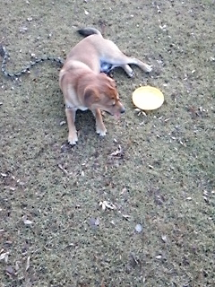 フリスビー犬