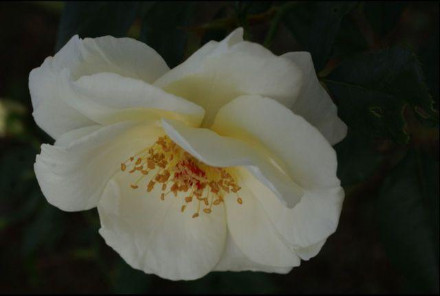 白バラ 3