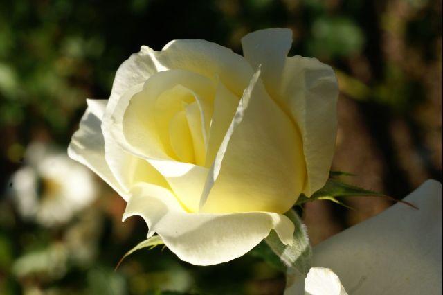 黄バラ 4