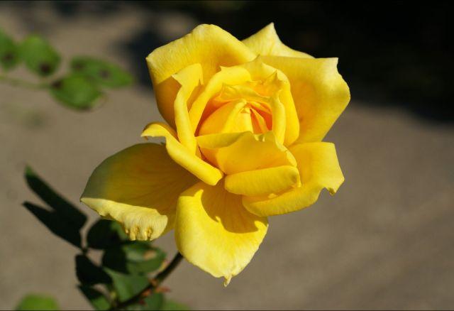黄バラ 5