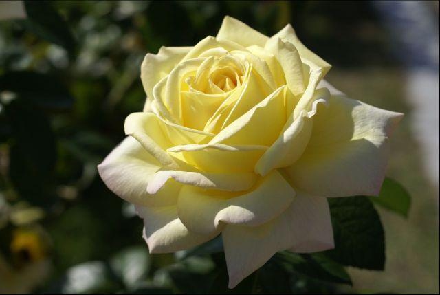 黄薔薇0000