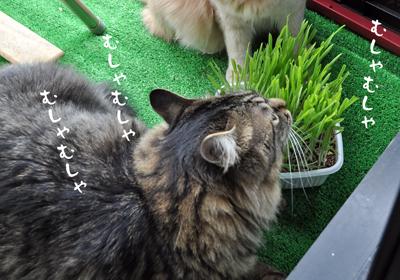 猫草むしゃむしゃ