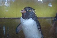 岩とびペンギン