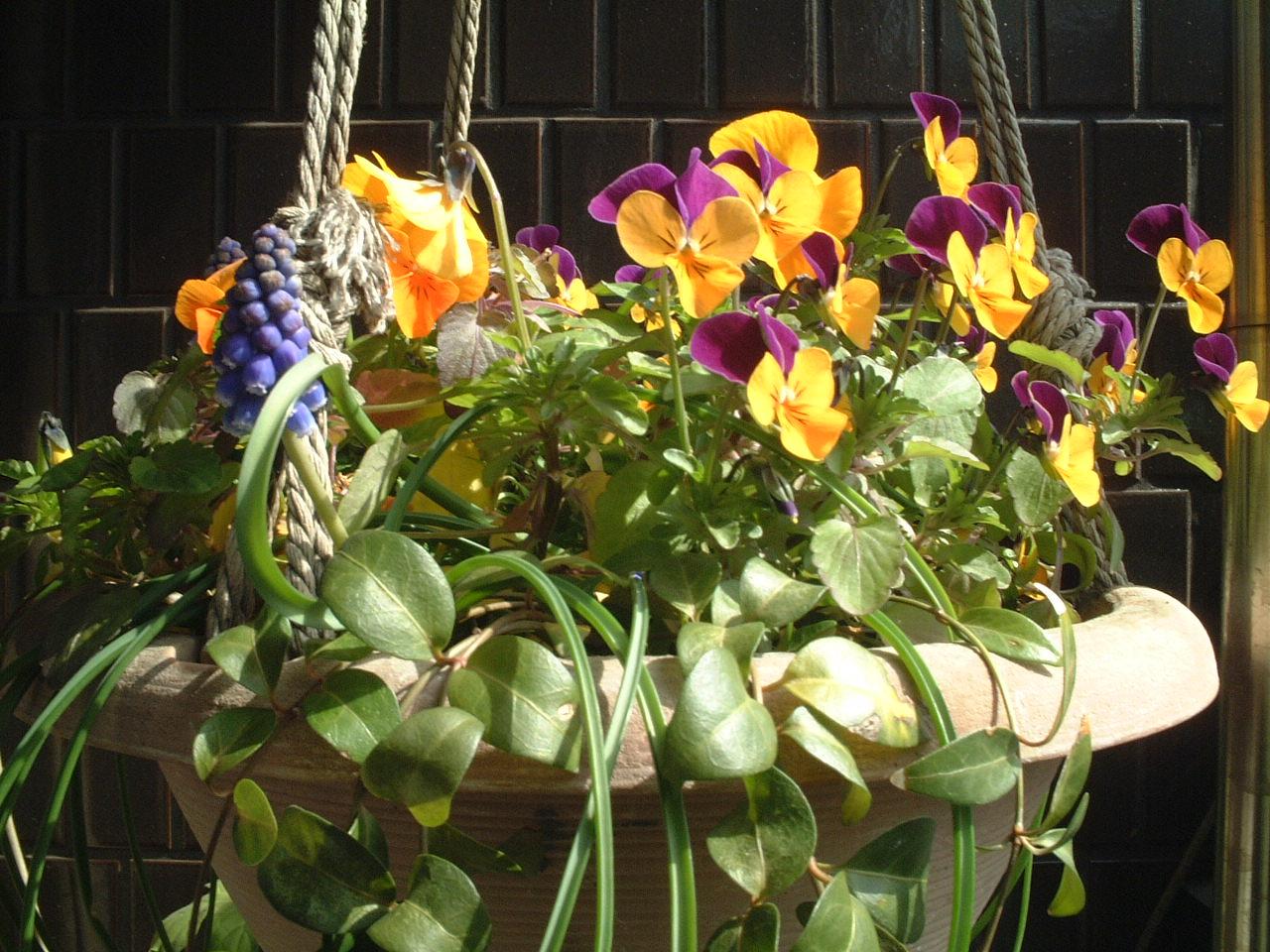 2007春ビオラ#2