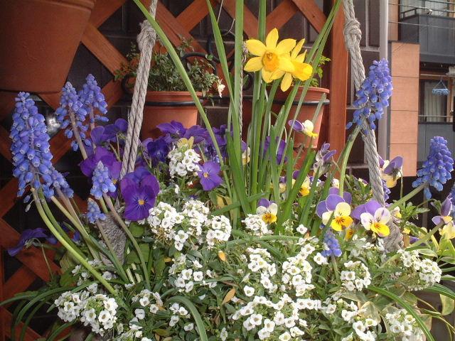 2005春ビオラ