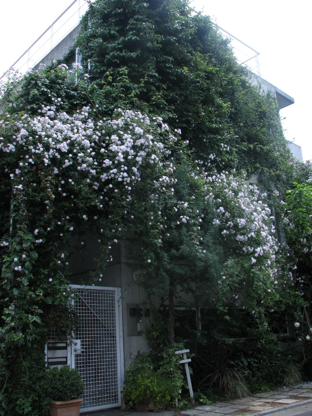 川部さんのバラ#1 07_05