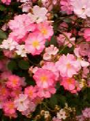 二重咲きバラ