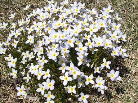 白いかわいい小花