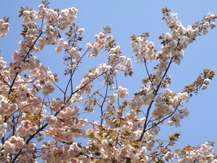 八重桜と青い空