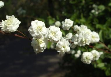 白いかわいい小花②