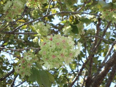 御衣黄(緑の桜)③