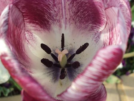 チューリップ紫まだら