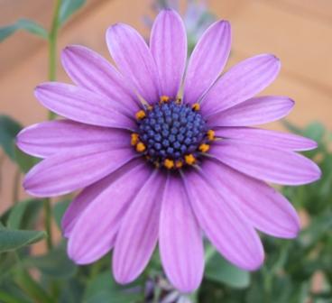 薄紫うすむらさき