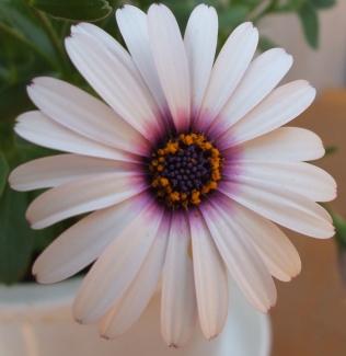 まんなか紫まわり白
