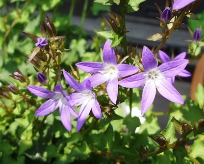 アルペンブルーの花