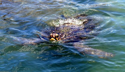 090711アオウミガメ